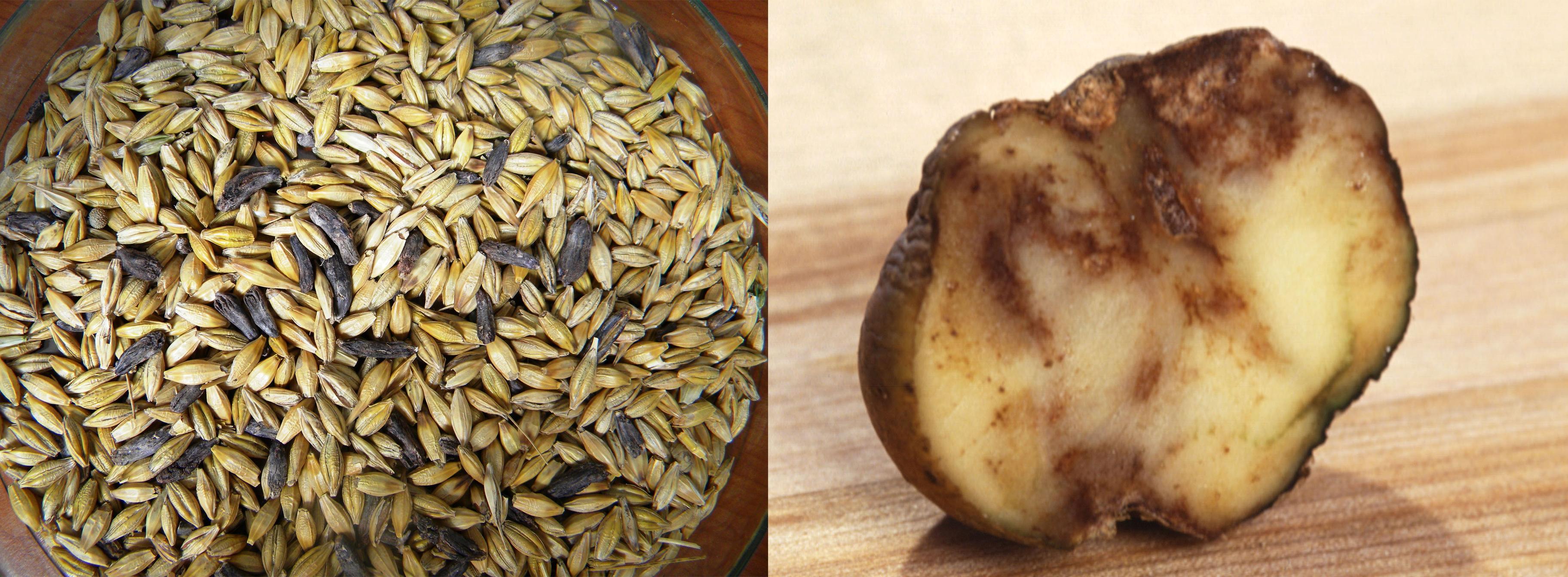 Meldrøje og kartoffelskimmel